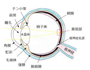 目の構造キレイ