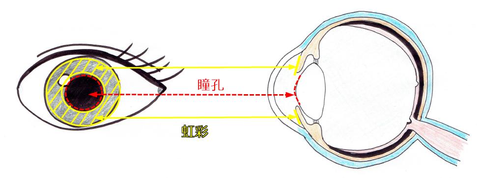 瞳孔と虹彩図