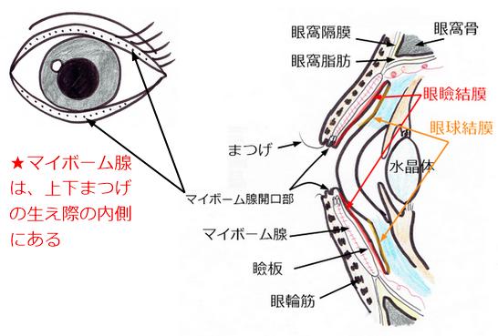 マイボーム腺開口部①